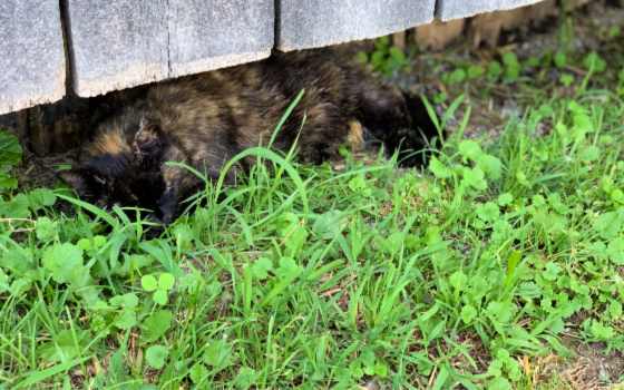 Cat Sleeping in the Grass